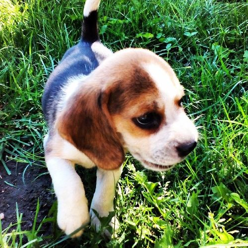 Nowy Osobnik A Domu :D pies dog beagle