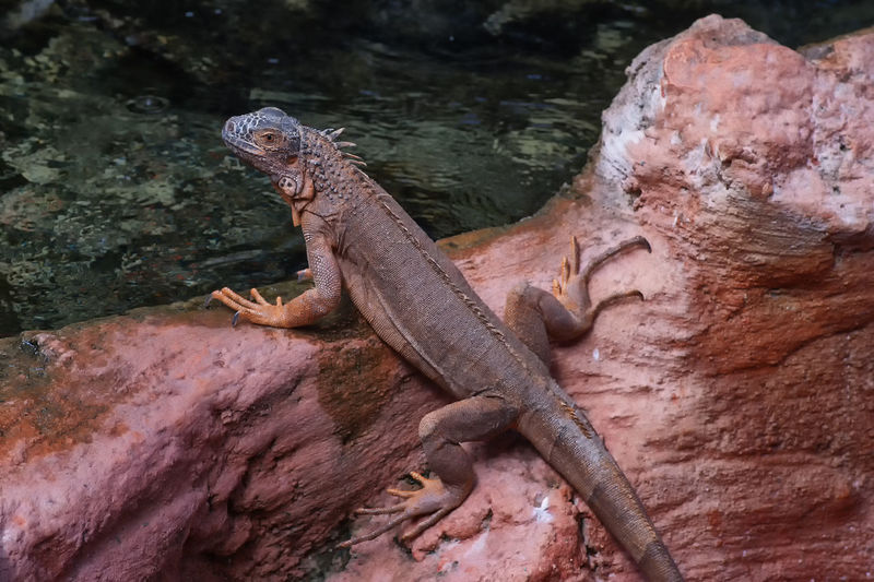 oups !!! Beauty In Nature Check This Out Close-up Crocodile Day Focus On Foreground Iguana Lezard Natural Pattern Nature Nature Nature Photography No People Outdoors Rock Rock - Object Taking Photos Tranquility Zoo Animals