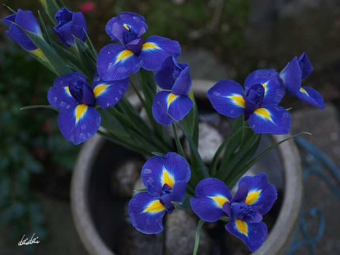 ベタだけど見上げられるのは好きだ E-PL3 Flower 菖蒲 Iris 自分の背の低さは棚に上げておく Noedit