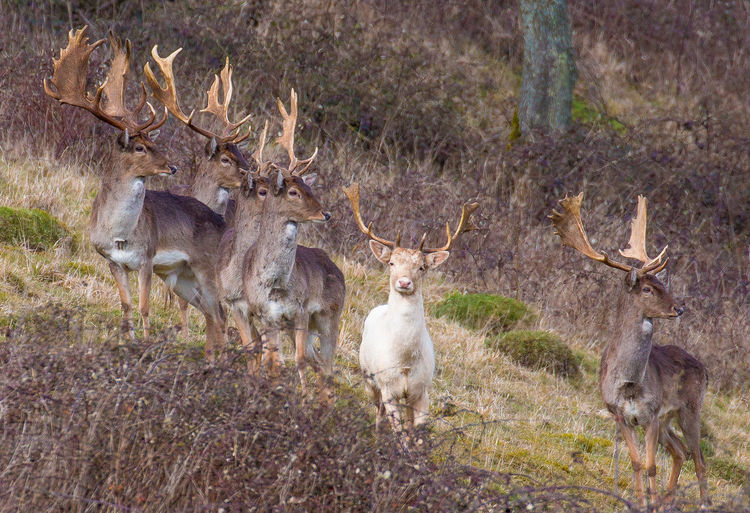 stand out from the crowd Exceptional Photographs White Hart Deer Animal Themes Animal Wildlife Animals In The Wild Antelope Antler Antlers Day Deer Forest Grass Mammal Nature No People Outdoors Stag Standing White Deer White Hart