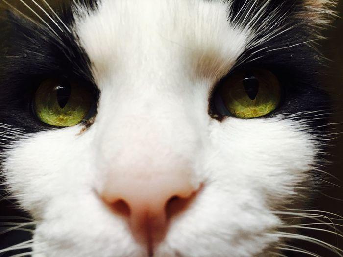 Master Bentley Pets Close-up Looking At Camera Domestic Cat Green Eyes Love ♥ Cat ♡ PhotogenicCat My Boy Pet Portraits Pet Portraits