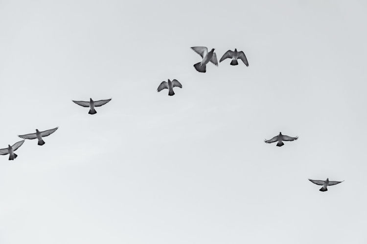 Close-Up of Flock of Pigeons Mid-air Berlin Germany 🇩🇪 Deutschland Horizontal No People Outdoors Animal Themes Animal Bird Flying Mid-air Flock Of Birds Pigeon Dove Black And White Image Low Angle View Spread Wings Day Sky Animal Wildlife Group Of Animals Vertebrate Nature Motion Copy Space Clear Sky