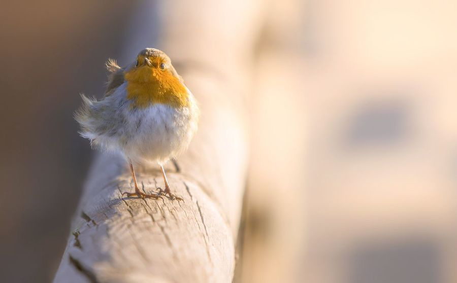 One Animal No People Nature Robin Robins Bird Birds Bird Photography Birds_collection Eltano86 Brescia Birdwatching Birdwatcher Day Outdoors Beauty In Nature Naturelovers Nature Photography Torbieredelsebino Tranquility Sunset Nature Scenics Nature_collection Italia