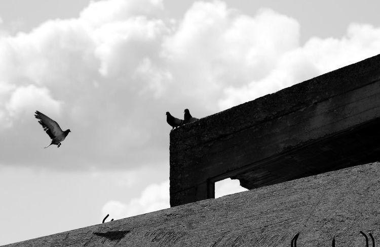 Ali Animal Themes Architecture Bianco E Nero Bird Cielo Nuvoloso Cloud - Sky Clouds And Sky Edificio Flying Italy No People Outdoors Piccione Pigeon Bird  Pigeons Primavera Rometta Rometta Marea Sicily Spring Tetti  Volatile Whiteandblack Wings