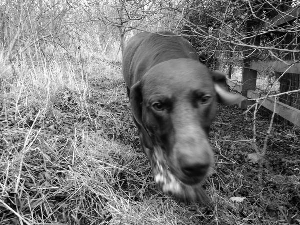 Animal Nose Black And White Black And White Photography Blackandwhite Dog Dog Walk Dogslife Outdoors Pets Dramatic Angles Gsp German Shorthaired Pointer