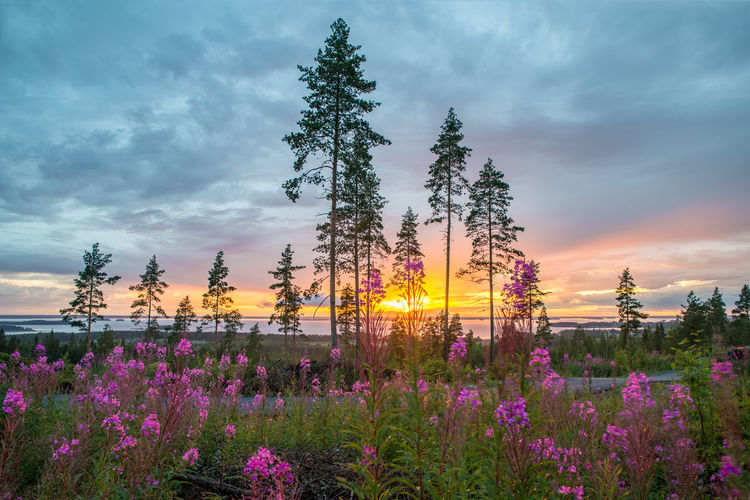 Finland Lakeaharju Lost In The Landscape Beauty In Nature Cloud - Sky Fireweed Flower Growth Lakescape Landscape Nature No People Outdoors Pine Tree Plant Purple Rosebay Willowherb Scenics Scots Pine Summer Sunset Tranquil Scene Tranquility Tree Perspectives On Nature