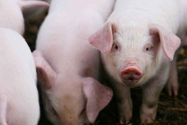 Close-up of pig