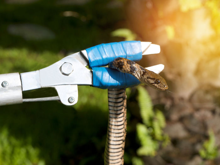 Close-up of snake held by work tool