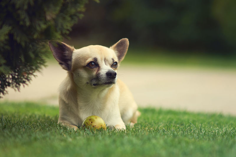 Close-up of dog looking away while sitting on grass