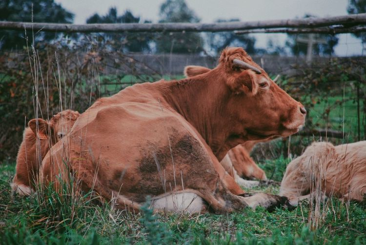 Cow relaxing on field