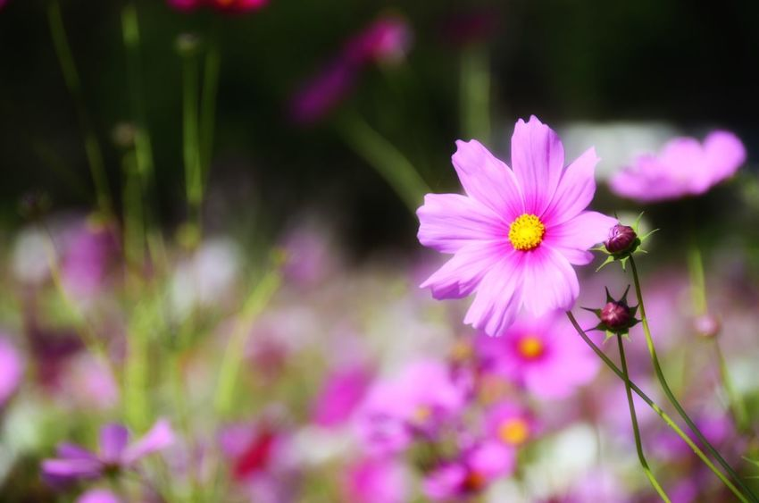 Pink cosmos with the blurred background of the cosmos field Cosmos Flower Pink Flower 🌸 Pink Flower Flower Petal Nature Fragility Beauty In Nature Growth Flower Head Freshness Plant Purple Outdoors No People Blooming Cosmos Flower Pink Color Day Close-up