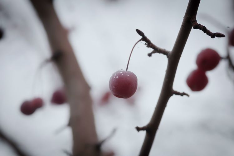 Hangers-on Tree Branch Snow Cold Temperature Winter Fruit Red Hanging