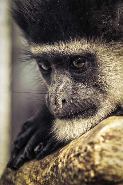 Animal Wildlife Animals In The Wild One Animal Animal Animal Themes Close-up Primate Mammal Monkey Vertebrate Day Focus On Foreground No People Animal Body Part Portrait Animal Head  Looking Away Looking Outdoors Zoo Baboon Animal Eye