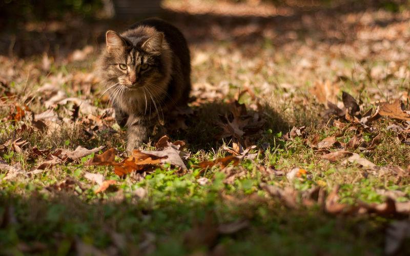 Portrait of cat walking on grassy field