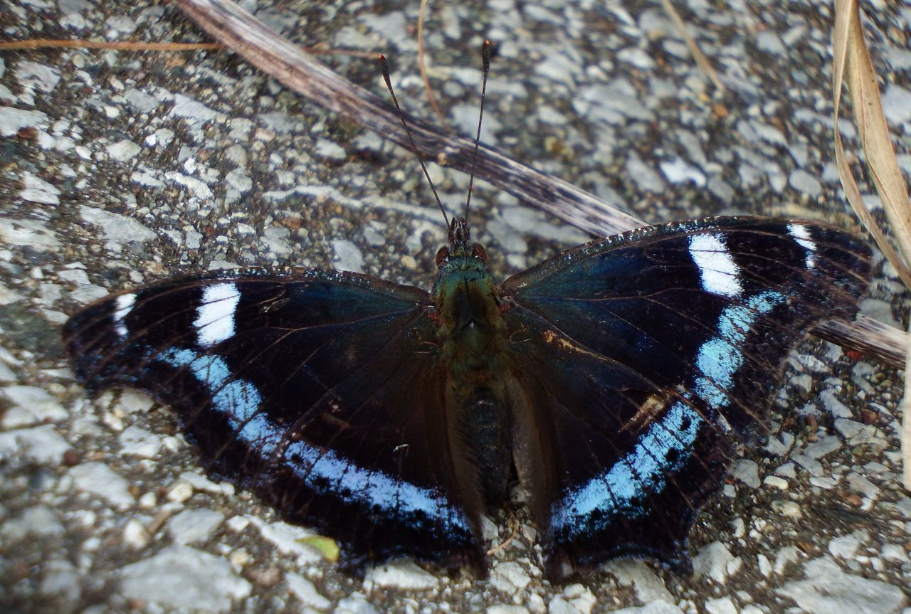 one animal, animal themes, animals in the wild, insect, no people, butterfly, day, animal wildlife, outdoors, butterfly - insect, close-up, nature, spread wings