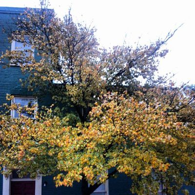 Tree outside my house on 10/29....hope to keep a running record of how it looks during Sandy's visit!