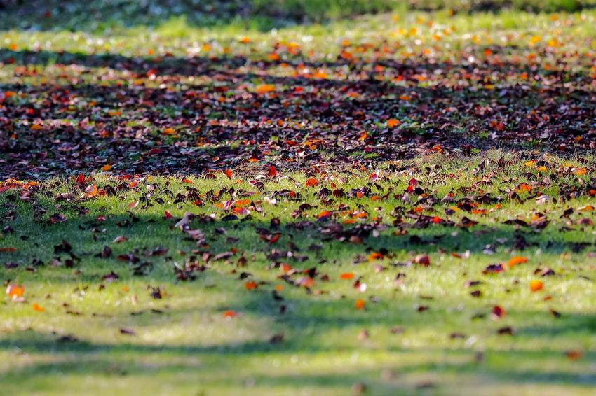Falling Leaves Leaves 🍁 Leaves_collection Nature EyeEm Nature Lover Nature_collection Nature Photography Taking Photos EyeEm Best Shots EyeEm Gallery From My Point Of View The Week on EyeEm Selective Focus Day Grass No People Nature Outdoors Plant Field Plant Part Leaf Autumn Beauty In Nature Falling Change
