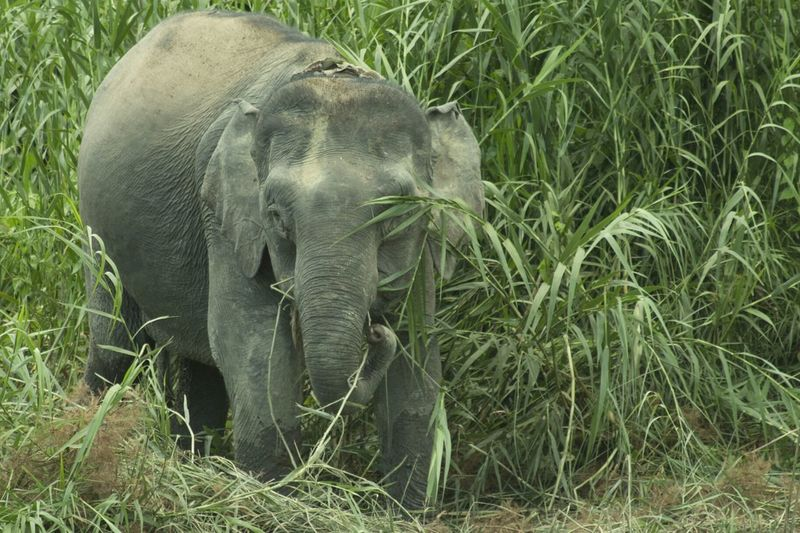 Pygmy Elephant Rivercruise Amazingborneo Wildlife Nature Jungle Travel Wildlife & Nature Kinabatangan River Kinabatanganriver