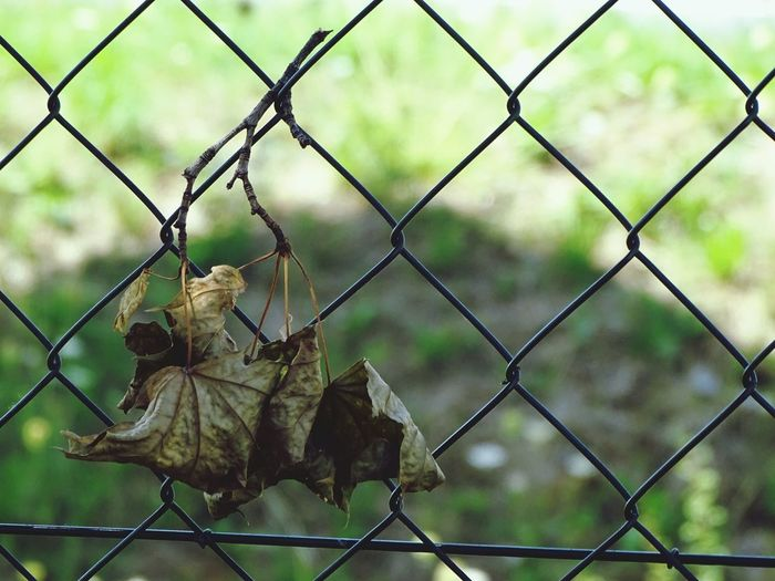 Chainlink Fence Security Protection Safety Metal No People Day Barbed Wire Focus On Foreground Leaf 🍂