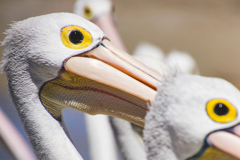 close up portrait of a pelican Animal Animal Themes Bird Vertebrate Animal Wildlife Animals In The Wild One Animal Beak Close-up Focus On Foreground No People Animal Body Part Day Animal Head  Pelican Outdoors Nature Side View Animal Eye My Best Photo