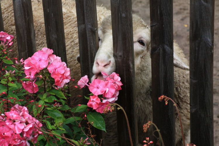 Blume Blüten Flower Gutes Leben Nutztier Pflanzen Plant Schafe Sheep Säugetier