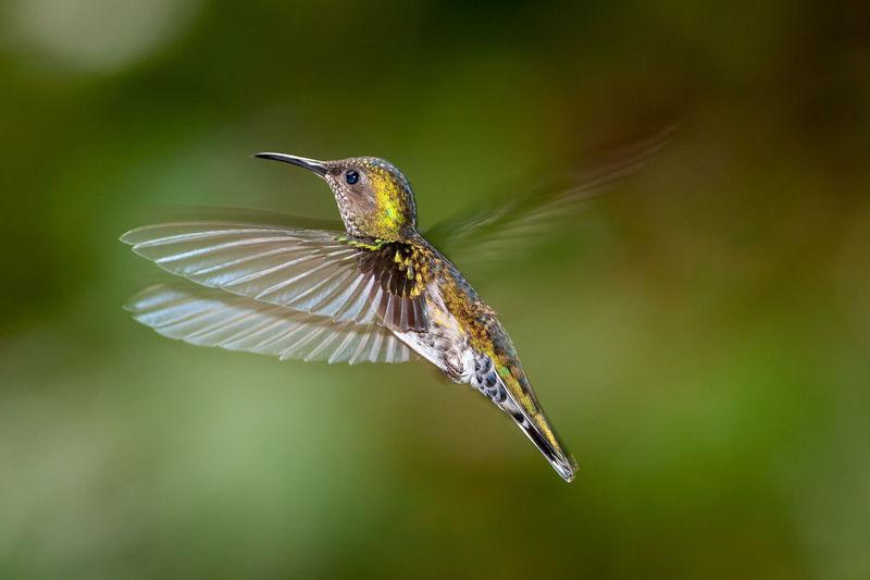 White-necked jacobin - florisuga mellivora female hummingbird in flight