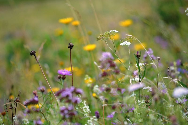 Animal Animal Themes Animal Wildlife Animals In The Wild Beauty In Nature Close-up Field Flower Flower Head Flowering Plant Fragility Freshness Growth Insect Invertebrate Land Nature No People Outdoors Plant Pollination Purple Selective Focus Vulnerability