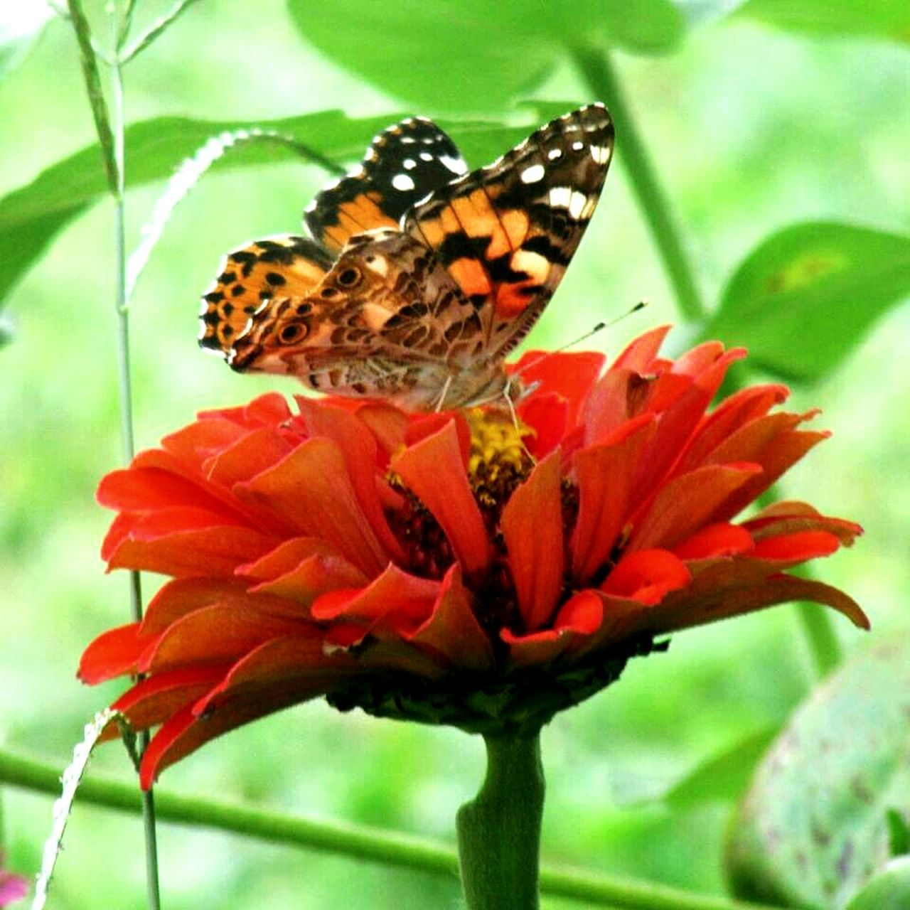 flower, insect, butterfly - insect, nature, fragility, animals in the wild, freshness, animal themes, beauty in nature, growth, petal, plant, no people, flower head, butterfly, pollination, one animal, close-up, outdoors, day, animal wildlife, perching, zinnia