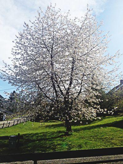 Tree Cherry Blossoms Summer