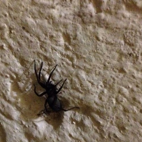 Spider Insects