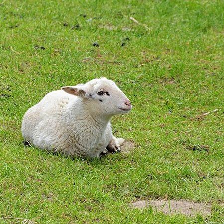 Just relax... Lamb L ämmchen Lamm Animal tier cute niedlich süß sweet nature natur bauernhof farm