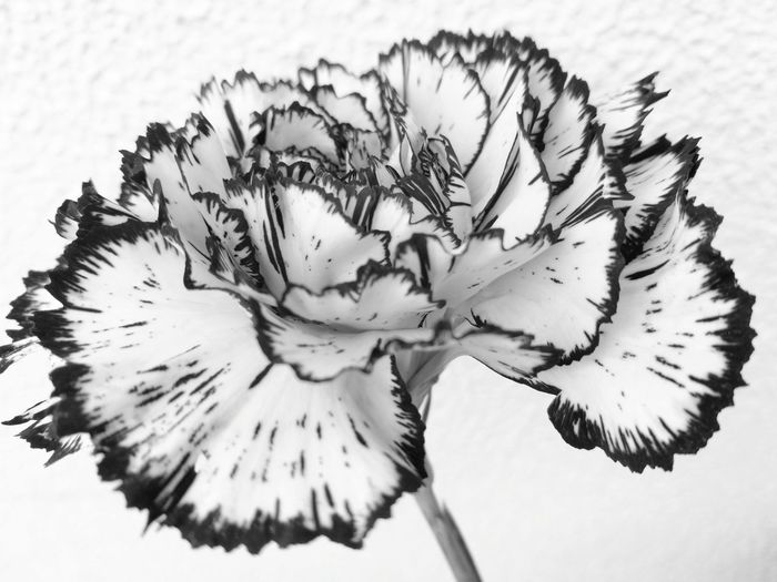 Dianthus caryophyllus Black And White Dianthus Caryophyllus Flower Head Flower Plant Part Close-up Plant