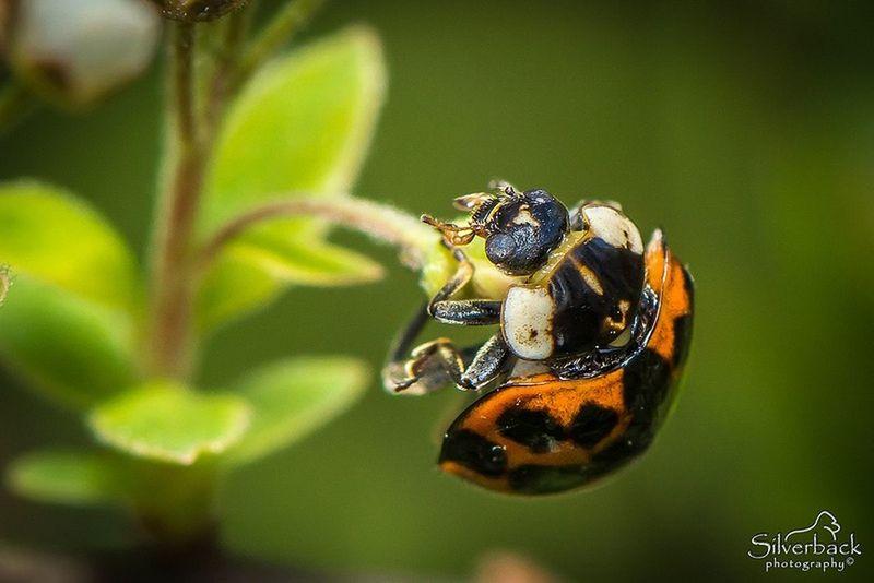 Ladybug Insect Animal Wildlife Close-up Leaf Outdoors Nature Macro Photography Ladybug Ladybug🐞 Ladybugs Photography Ladybugmacro Macrophotography