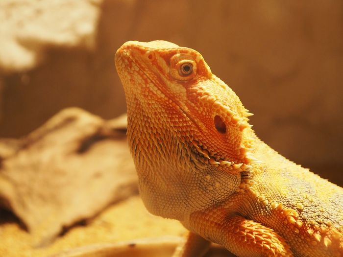 Reptile Animal Themes Animal One Animal Lizard Vertebrate Animal Wildlife Animals In The Wild Bearded Dragon Close-up Focus On Foreground Animal Body Part No People Nature Animal Head  Outdoors Animal Scale Animals In Captivity Side View Day Iguana Profile View