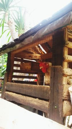 Chickens Are Pets Jakarta Indonesia Home Day Off