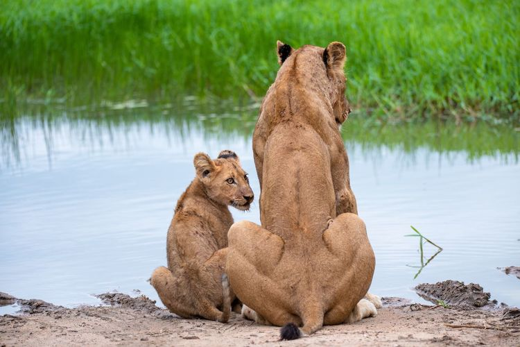 Lioness and cub on the riverside Babyanimals Insecurity Parenting Mother And Child Nature Safari Riverside Cub Lioncub Lions Lion Lioness Animal Animal Themes Water Animal Wildlife Mammal Animals In The Wild Vertebrate Feline Relaxation Big Cat Animal Family Two Animals Sitting Lakeshore