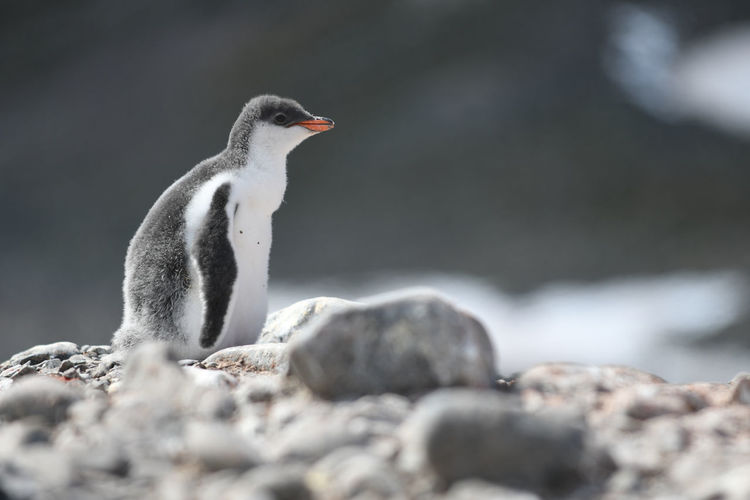 Close-up of penguin on rock