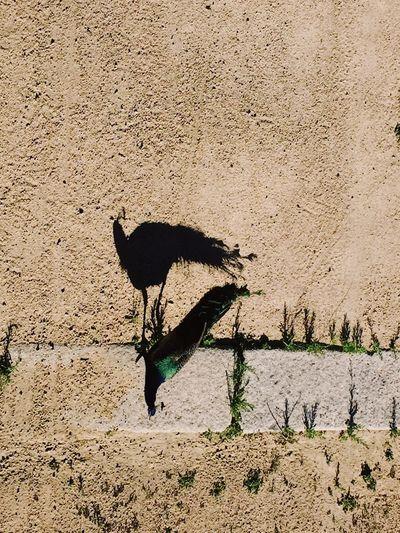 Pavo shadow