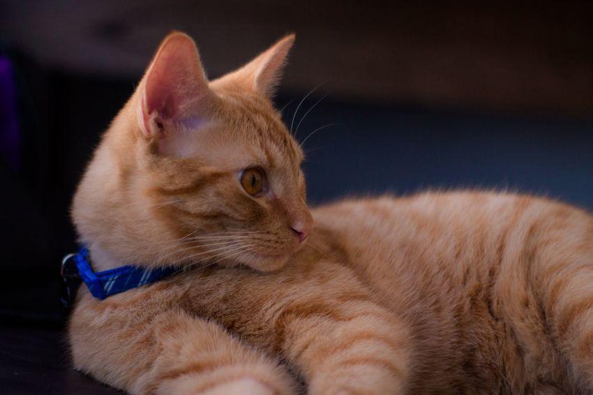 Pet Portraits Pet Animal Cat Domestic Cat Mammal Animal Themes Pets One Animal Indoors  Domestic Animals Feline Close-up Ginger Cat