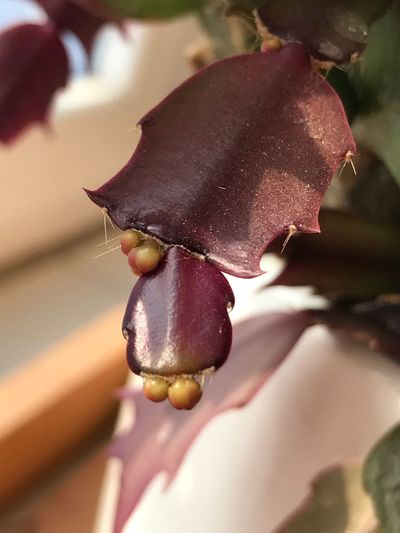 蟹爪兰的🌸骨ོ朵ོ Flower Head