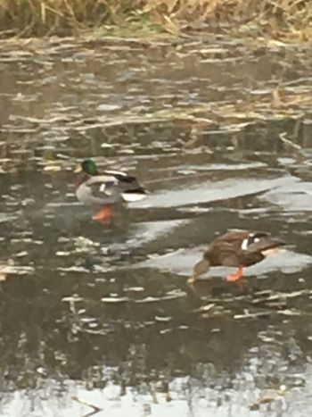 Duck Water Swimming Animal Themes Animals In The Wild Lake Bird Waterfront