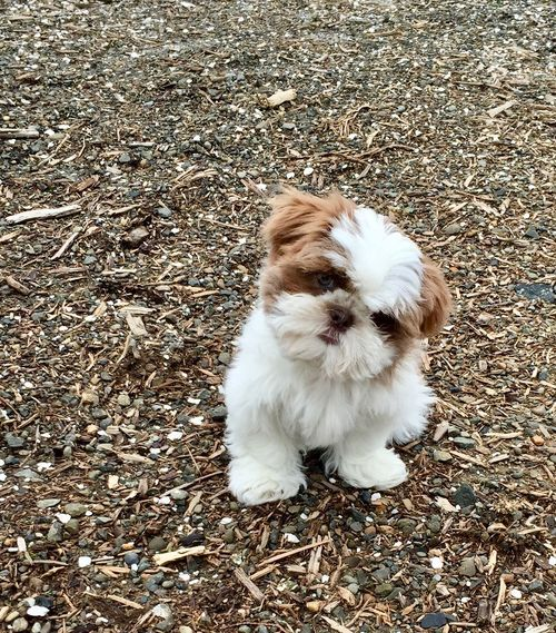 Animal Themes Brown Color Day Dog Domestic Animals Full Length Mammal Nature No People One Animal Outdoors Pets Portrait Puppy Shih Tzu White Color Wood Chips