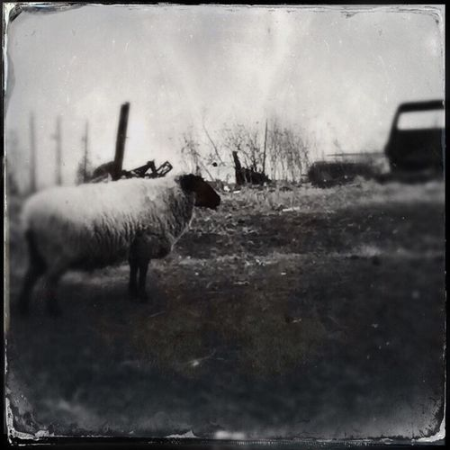 Farm Farm Life Farmanimals Farm Animals Farm Animal Enjoying Life Sheep🐑 Sheep Sheeps Farmland Oldcar Oldtruck Fence Blackandwhite Blackandwhite Photography Wisconsin Wisconsin Life Wisconsinstyle Wisconsin Farms Animals Animal Animal Photography Black & White Black And White Farm Black And White Photography