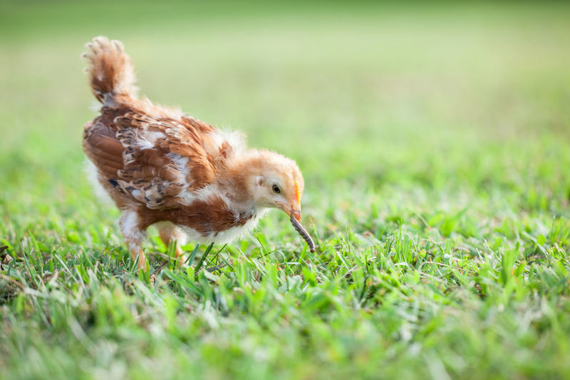 Free range Rhode Island red baby chick eating a worm in the garden Baby Eating Farm Hungry Poultry Animal Themes Baby Chicken Bird Birds Chick Chicken - Bird Close-up Day Domestic Animals Field Free Range Chicken Grass Green Color Nature No People One Animal Outdoors Rhode Island Red Worm Young Bird