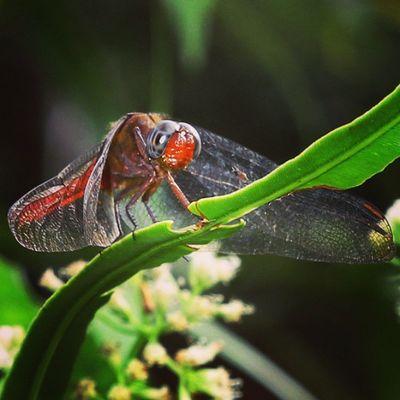 Muka merah. Dragonfly_of_the_day Ig_dragonflies Dragonflies Capung bestnatureshot_macro bestnatureshot