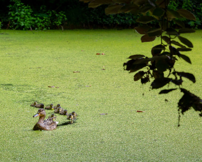 Green Color Nature Sunlight Shadow Outdoors Large Group Of Animals Algae Group Of Animals Swamp Ducks Duckling Lake Plant Grass Animal Themes Duckweed Swimming Mother Nature Light And Shadow In A Row Spring
