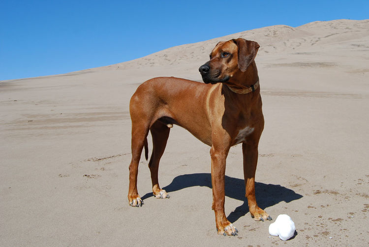 Rhodesian ridgeback dog standing at great sand dunes national park