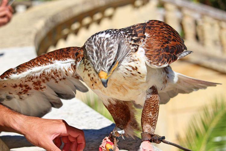 Close-up of hand feeding falcon bird