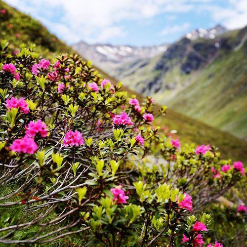 Alpenrose flower Plant Beauty In Nature Pink Color dachtirols Pitztaler Gletscher Pitztalergletscher pitztal Alps alpen