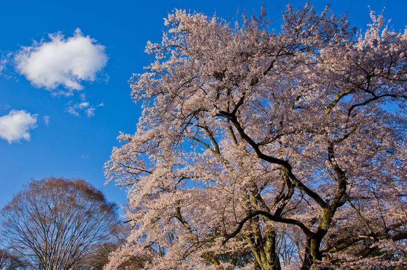 Tree Sky Plant Low Angle View Branch Beauty In Nature Flowering Plant Flower Growth Blossom Springtime Blue Nature Day No People Cherry Blossom Freshness Fragility Cloud - Sky Tranquility Outdoors Cherry Tree Spring Cherry Blossom Japan Japan Photography Spring Flowers Cherry Flower Pentax
